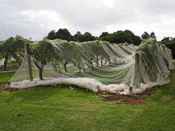 Shade cloth used as bird netting for protecting trees